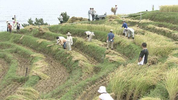 白米千枚田の稲刈り1