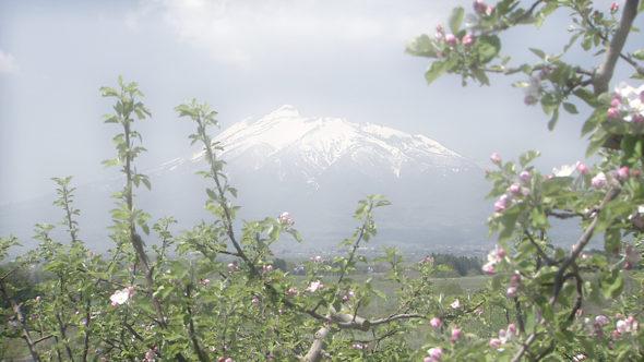 01.冬から春へ。青森のリンゴ、幕開けの作業(剪定、受粉、摘花)