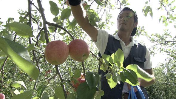 05.津軽平野、リンゴの収穫と稲刈り。多彩なリンゴの品種