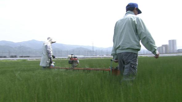 03.イグサ農家の春。イグサの先刈りと網張り