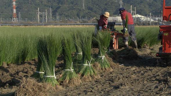 08.夏から秋へ。イグサの苗取りと株分け、植え付け