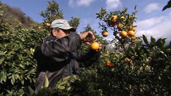 07.伊予柑の収穫を迎えた九島と愛媛みかん
