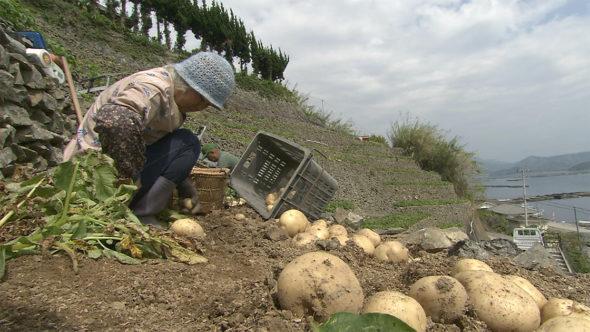 09.段畑の歴史とジャガイモの収穫