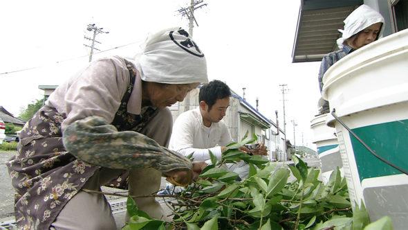 02.お茶農家の仕事。苗木作り、施肥、薬剤散布、中切り更新