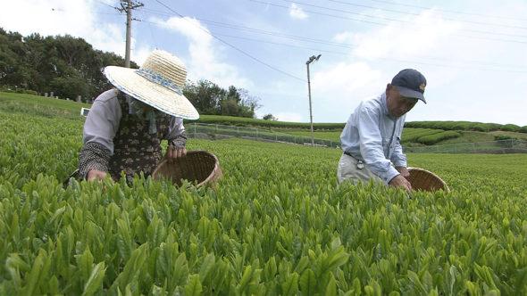 04.お茶の収穫、一番茶の摘採。駿河湾の桜海老