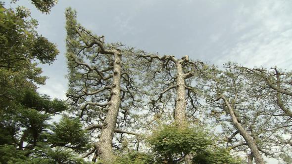 03.伝統的景観の築地松をまもる陰手刈りの技