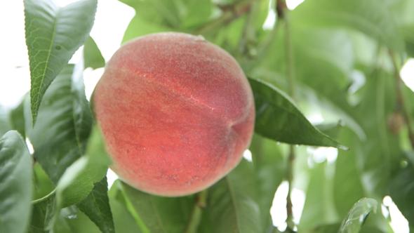 02.山梨の桃、家族経営の果樹農家