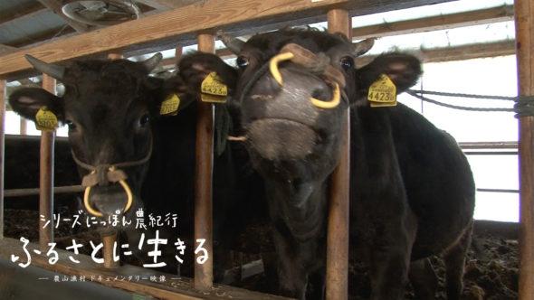 07.松阪牛(まつさかうし)を育てる肥育農家、共進会への挑戦