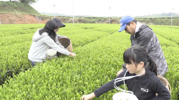 05.八女市新茶祈願祭と一番茶の摘採