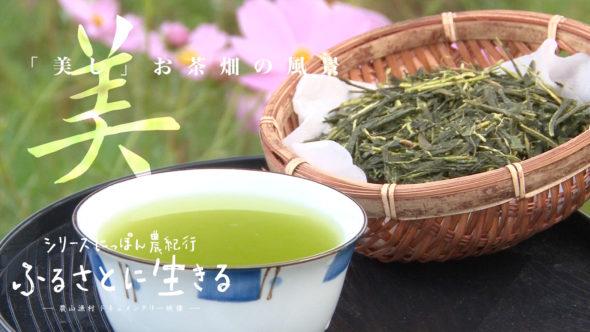 03.度会町(わたらいちょう)の伊勢茶、四番茶の収穫